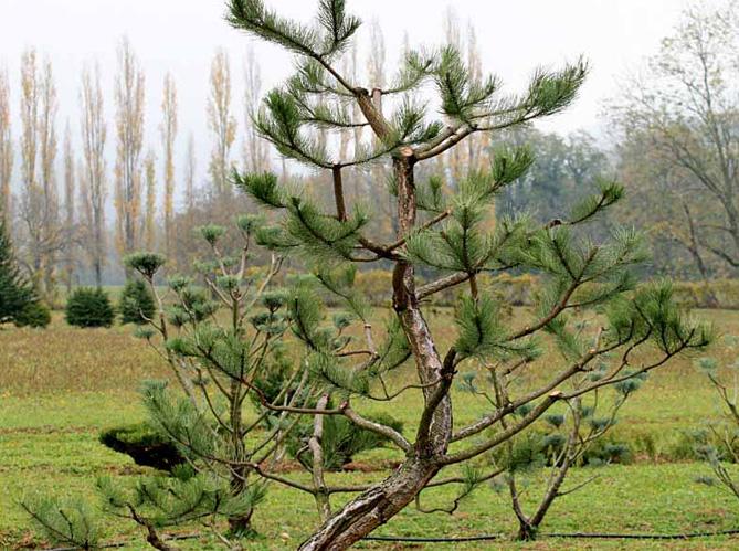Comment tailler ses arbres en nuage elle d coration - Comment tailler un sapin ...