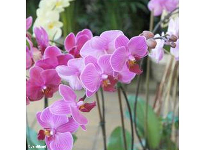 Orchid e d couvrez les diff rentes vari t s de cette for Orchidee exterieur